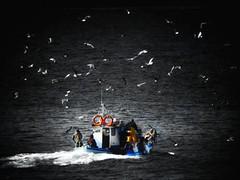 Like stars... (panoskaralis) Tags: seagull birds flying fishingboats fishing fishermen boats vessel sea seascape seaview aegean aegeansea outdoor blackandwhite blackwhite nature greece greek hellas hellenic winter lesvos lesvosisland mytilene nikoncoolpixb700 nikon nikonb700 greekisland greeknature