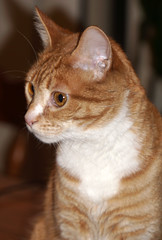Crissy (baalands) Tags: crissy cat feline gato orange tabby pet