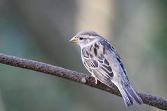IMG_1044_20200118_moineau_m1 (jp.lartigau1966) Tags: canon eos oiseau moineau 90d passereau