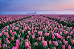 Tulips (Ellen van den Doel) Tags: zonsopkomst sunrise seasonspring voorjaar clouds april sun bulbbulbs natuur tulips overflakkee sky nederland nature lente netherlands tulip flower outdoor zonsopgang 2019 tulp field landschap goeree tulpen landscape