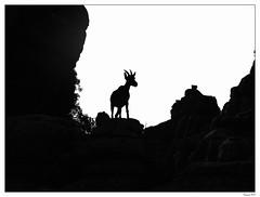 La cabra del Torcal. (francis_bellin) Tags: noiretblancphoto andalousie netb calcaire rochers noiretblanc olympus bw antequera blackandwhite espagne 2019 blackandwhitephoto torcal