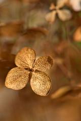 Hydrangea (pstenzel71) Tags: blumen natur pflanzen hydrangea hortensie darktable flower bokeh ilce7rm3 sel90m28g