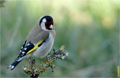 Chardonneret élégant (boblecram) Tags: carduelis bird oiseau passereau european goldwinch