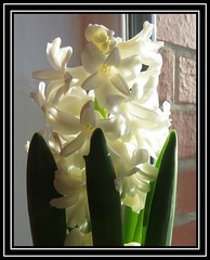 Three in a row - Hyacinth Leaves (M E For Bees (Was Margaret Edge The Bee Girl)) Tags: hyacinth flowers flowerscolors leaves green plant bulbs indoors canon redbricks winter white window light sun pointed scented growing flowering clean fresh