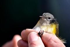 Female American Redstart (bmasdeu) Tags: bird banding research american redstart warbler female yellowstart statepark florida