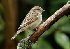 Female  House Sparrow ---- Passer domesticus (creaturesnapper) Tags: uk europe sparrows birds housesparrow passerdomesticus