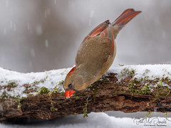 Northern Caridinal (F) (Bill McDonald 2016) Tags: billmcdonald northerncardinal cardinal female ontario canada foraging snowing snow moss mossylog naturephotographer wildlife bird avian canon photography