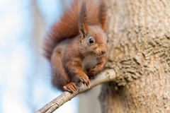 Happy Smiley (Joachim Dobler) Tags: eichhörnchen eichhoernchen squirrel écureuil ardilla scoiattolo equito nature natur nagetier wildlife animal cute naturephotography squirrellove wildlifephotography bestsquirrel nutsaboutsquirrels cuteanimals