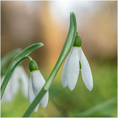 January Snowdrops (A Journey With A New Camera) Tags: snowdrop snowdrops flowers plants wildflowers winterflowers flora dof bokeh