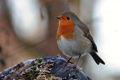 366 - Image 018 - Robin... (Gary Neville) Tags: 366 366images 7th365 photoaday 2020 sony sonyrx10iv rx10iv rx10m4 garyneville