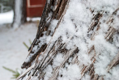 Green Lake, Dysart et al, Ontario, Canada (Tiphaine Rolland) Tags: ontario canada dysartetal haliburtoncounty haliburton haliburtonhighlands highlands algonquinhighlands algonquin winter hiver 2019 nikond3000 nikon d3000 snow neige white blanc bois wood greenlake tree arbre écorce bark