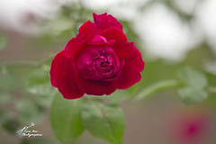 SHF_6654Rose (Tuan Râu) Tags: 1dmarkiii 14mm 100mm 135mm 1d 1dx 2470mm 50mm 70200mm canon canon1d canoneos1dmarkiii canoneos1dx rose nature flora floral flower beautiful beauty beautifulinnature tuanrau tuan râu tuấnrâu2020 httpswwwfacebookcomrautuan71