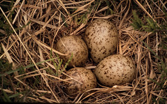 Lapwing Eggs (JJFET) Tags: lapwing eggs