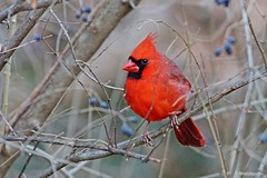 Northern Cardinal (Anne Ahearne) Tags: wild bird animal nature wildlife red songbird birdwatching cardinal northerncardinal