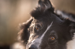 3/52 The White Stripe (JJFET) Tags: 3 52 weeks for dogs paddy 2020 border collie sheepdog dog