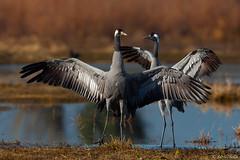 Gru eurasiatica - Grus Grus - Eurasian crane (Silvio Sola) Tags: gru grusgrus eurasiancrane grueurasiatica centrocicogneracconigi uccello bird