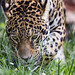 Zoya sniffing the grass