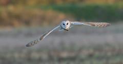 Barn Owl (Tyto alba) (KHR Images) Tags: barnowl barn owl tytoalba wild bird birdofprey hunting flying cambridgeshire fens wildlife nature nikon d500 kevinrobson khrimages