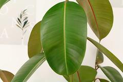 Botánica (minimmus_) Tags: botanics elástica ficus plants