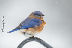 Ruffled Feathers (Melody Mellinger) Tags: bluebird animal wildlife feathers blue bird nature songbird windy weather cold winter snow snowflakes btscritique