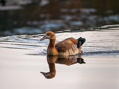 Reflection (Deepmike70) Tags: wildlife nature animal bird waterbird water reflections