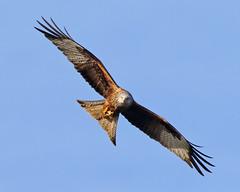 Red Kite (Treflyn) Tags: red kite bird prey raptor wild wildlife nature back garden earley reading berkshire uk