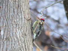 Yellow-bellied Sapsucker (Dean Newhouse) Tags: yellowbelliedsapsucker sapsucker