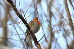 IMG_1065_20200118_rouge_gorge (jp.lartigau1966) Tags: canon eos 90d oiseau passereau rougegorge