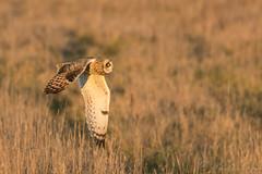Short Eared Owl-8060 (WendyCoops224) Tags: 100400mmlmk2 80d fens canon eos ©wendycooper short eared owl asio flammeus