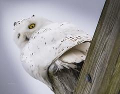 Not sure about that right eye . . . (Dr. Farnsworth) Tags: bird large male owl snowyowl yellow eye nictitating membrane traversecity mi michigan winter january2020