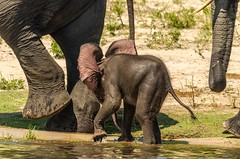 "When you are still ""pink behind the ears..."" (lyn.f) Tags: elephant baby loxodontaafricana mammalswild herbivore big5 water waterislife nature naturelover nikon choberiver botswana africa safari pangolinphotosafaris"