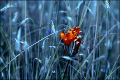 Summer bride (Sylvia Sassen) Tags: nature lily arnhem corn blue