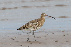 Curlew (Dougie Edmond) Tags: southayrshire scotland unitedkingdom bird nature wildlife