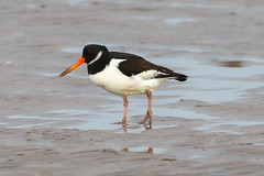 Oystercatcher (Dougie Edmond) Tags: southayrshire scotland unitedkingdom bird nature wildlife