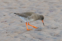 Redshank (Dougie Edmond) Tags: southayrshire scotland unitedkingdom bird nature wildlife