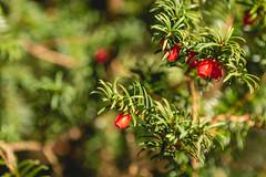Photo of Yew Berries