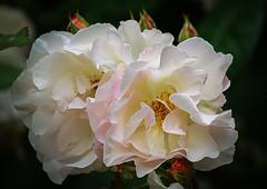 """""""Je suis encore toute décoiffée... """" (Solène.C-B) Tags: rose fleur flower beauté beauty lepetitprince saintexupéry soie silk transparence diaphane pastels solènecb froufrous canoneos70d"""