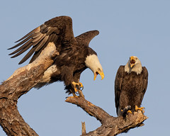 Two Bald Eagles Having a Heated Discussion (Mark Schocken) Tags: haliaeetusleucocephalus baldeagle raptor canon90d markschocken schockenphotography
