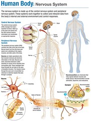 Infographic Human Body : Nervous System (smallpocketlibrary) Tags: free book bookspdf pdf medicine psychology ebook booksmedicine nutrition cosmos universe science physics technology astronomy neurology surgery anatomy biology chemistry mathematics university infographic picture photography animal wildlife fitness insects amazing wonderful incredibility beauty awesome nature smallpocketlibrary