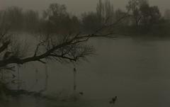PATOS ENTRE LA NIEBLA (Segundo Sánchez) Tags: patos ríoduero árboles ribera orilla niebla invierno zamora