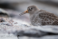 Purple sandpiper (Matt Hazleton) Tags: purplesandpiper sandpiper wader coast shore sea bird wildlife nature animal outdoor canon canoneos7dmk2 canon500mm eos 7dmk2 500mm matthazleton matthazphoto cornwall calidrismaritima