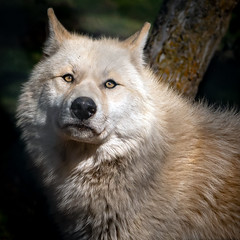 North American Grey Wolf (helenehoffman) Tags: californiawolfcenter greywolf northamericangreywolf mammal gulfofcalifornia carnivore conservationstatusleastconcern wolf animal canislupis s5 coth5