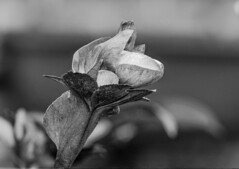 Flowers (ost_jean) Tags: nature flowers bw nikon d5300 tamron sp 90mm f28 di vc usd macro 11 f004n ostjean