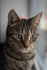 Birdy Mittens (JaaniicB) Tags: canon 77d eos sigma 1835 f18 cat domestic animal cimdiņš window portrait