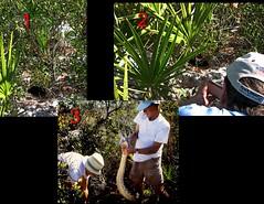 Locating Python Jan 2012 (Photos by the Swamper) Tags: reptiles snakes python burmesepython everglades