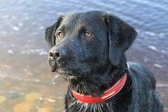 My lovely Boy (alanpitman703) Tags: labrador dog harris