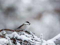 Willov tit! (petergranström) Tags: approved willov tit talltita bird fågel snow snö branch gren feather fjäder