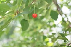 (**Alice**) Tags: brașov brasov romania românia tree copac sonyα450 vișin visin sourcherrytree 70300telemacro12 70300mm macro vișină sourcherry leaves frunze bokeh