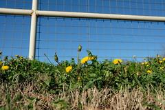 Winter Dandelion Crop (Gene Ellison) Tags: plants dandelion yellow flowers winter green leaves fence bluesky naturre photography fujifilm provia