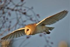 Barn Owl     .  Romney Marsh . (GrahamParryWildlife) Tags: barnowl owl talons pattern uk kent grahamparrywildlife kentwildlife canon 7d mkii sigma sport 150600 flight iso